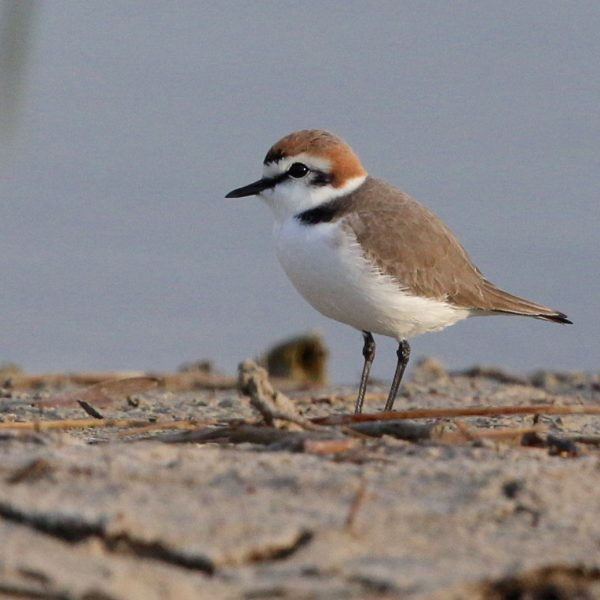 Kentish Plover by Edward Humphreys©