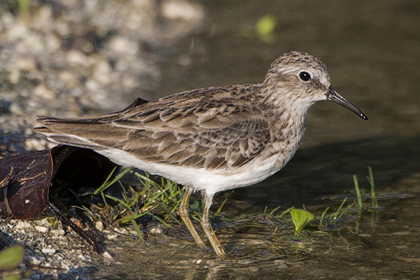 Least Sandpiper by Bryan Thomas©