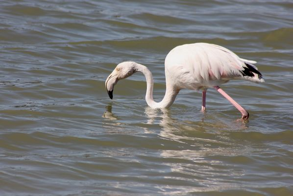 Greater Flamingo  by Mary Brazier©