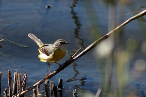 Grey Wagtail by Mary Brazier©