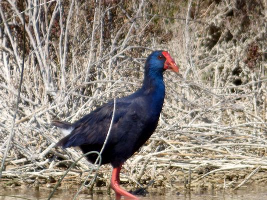 Purple Swamphen  by John Brazier©