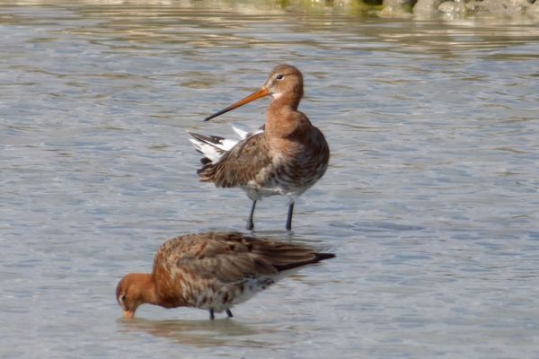 Black tailed Godwit by John Brazier©
