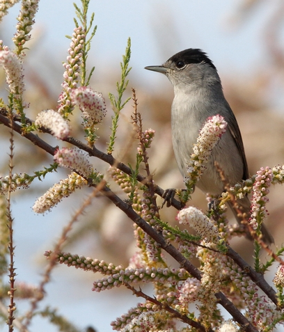 Blackcap by Edward Humphreys©