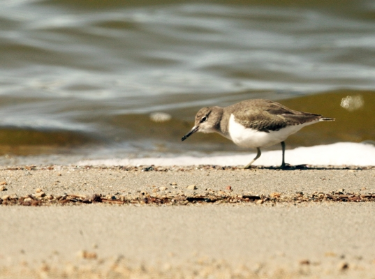 Common Sandpiper by Edward Humphreys©