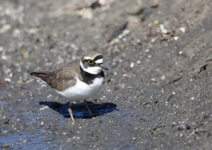 Little Ringed Plover by Edward Humphreys©