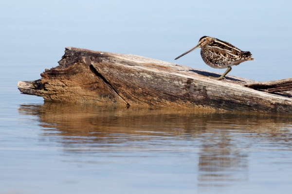 Snipe by Edward Humphreys©