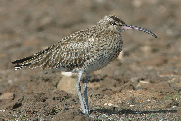 Whimbrell by Bryan Thomas©