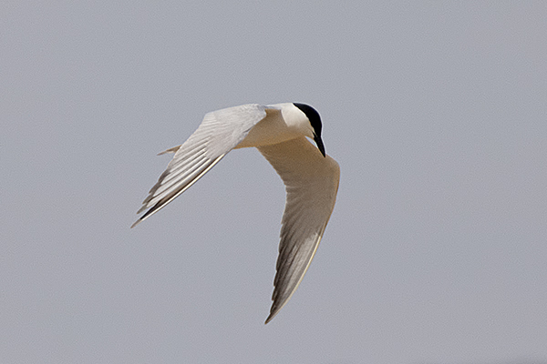 Gull billed Tern  by Bryan Thomas©