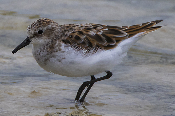 Little Stint  by Bryan Thomas©