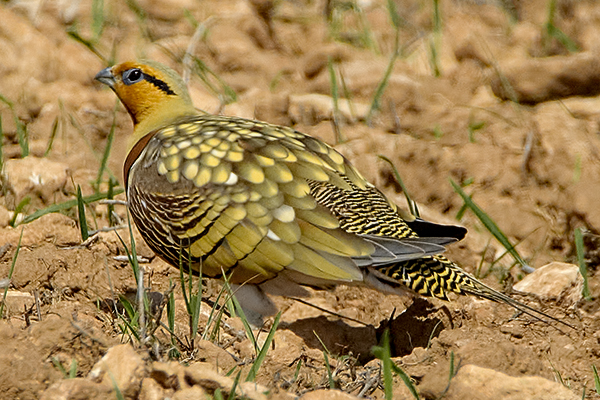 Pin tailed Sandgrouse  by Bryan Thomas©