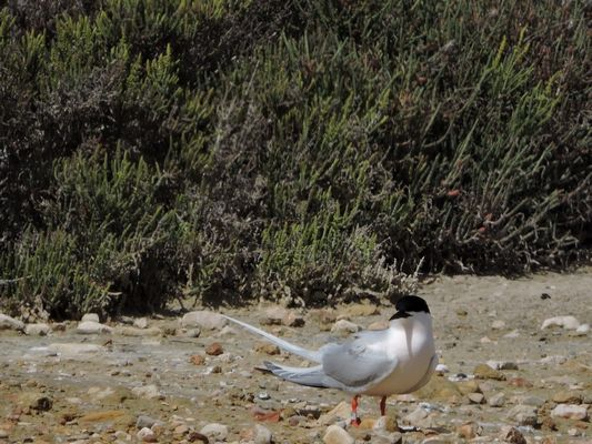 Roseate Tern by Barry Chambers©