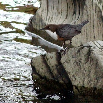 Dipper by Mary Brazier©