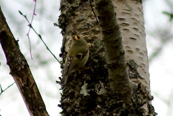 Goldcrest by Mary Brazier©