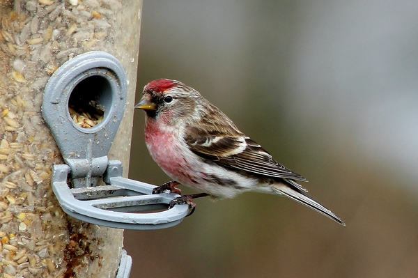 Lesser Redpoll by Mary Brazier©