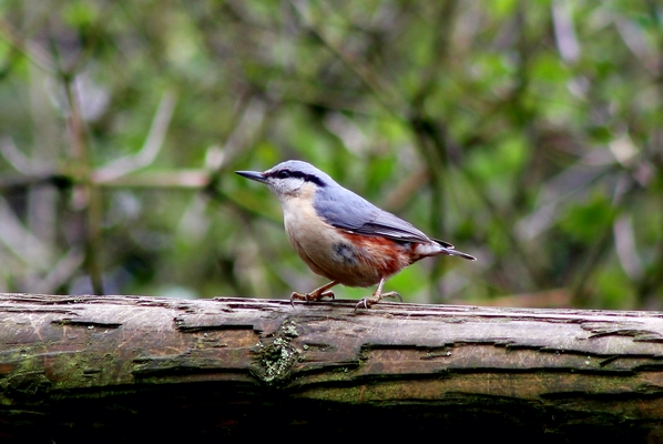 Nuthatch by Mary Brazier©