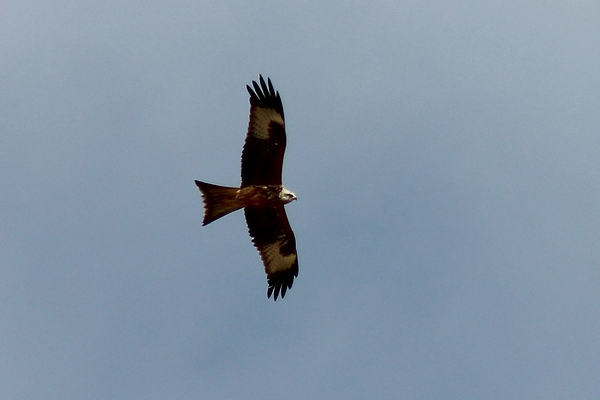 Red Kite by Mary Brazier©