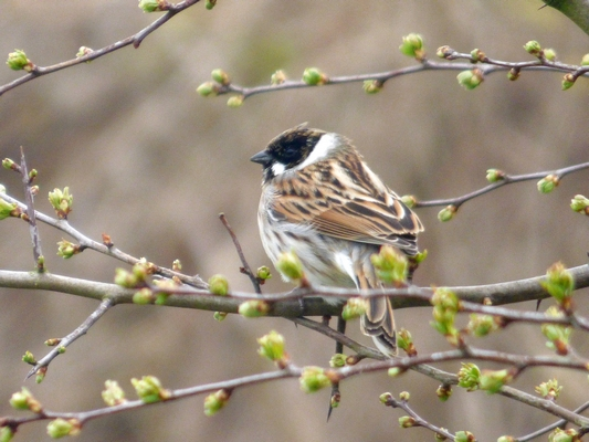 Reed Bunting  by Mary Brazier©