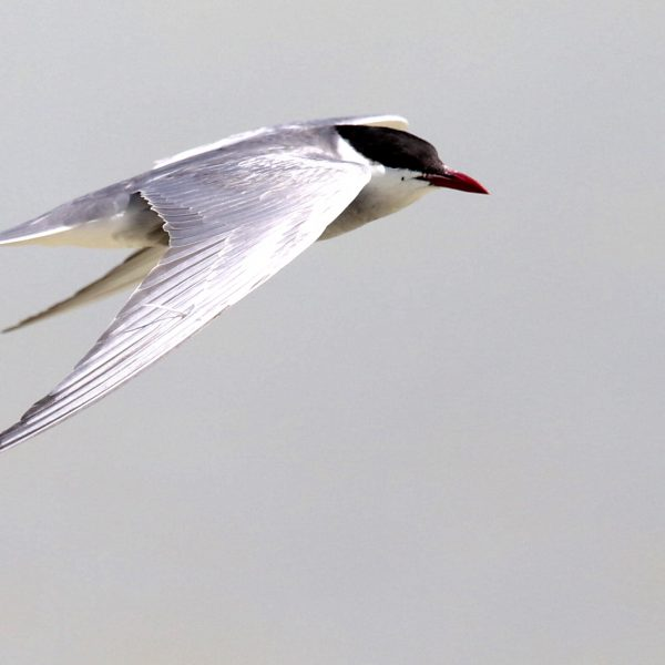 Whiskered Tern by Edward Humphreys©