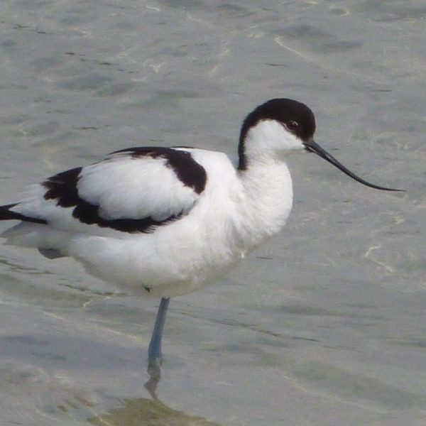 Avocet by Jonathon Hedgecock©