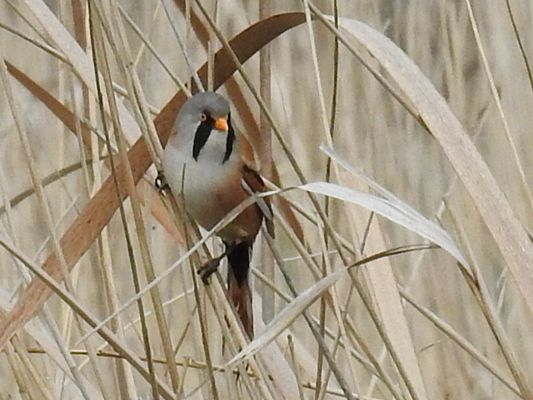 Bearded Tit by Dave Eddy©