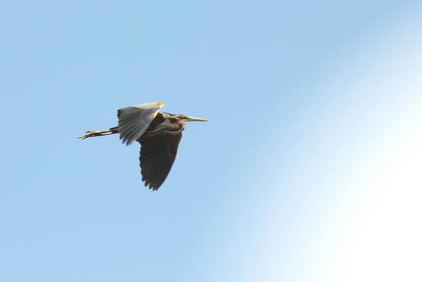 Purple Heron by Mary Brazier©