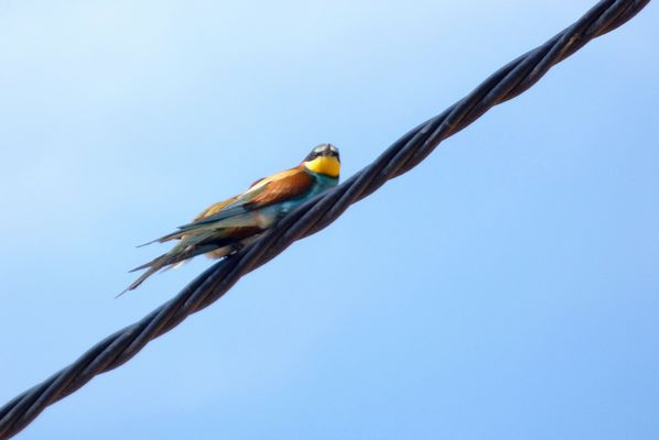 Bee eater by Mary Brazier©