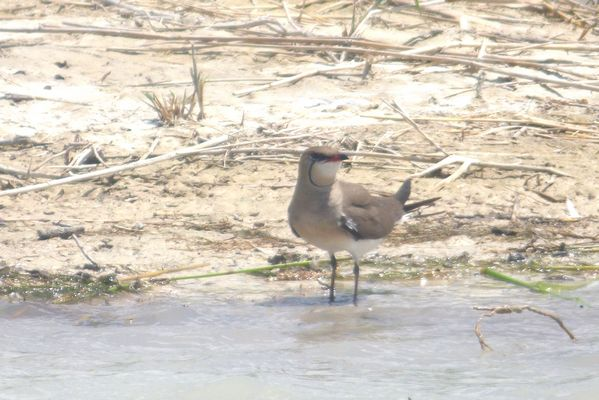 Collared Pratincole by Mary Brazier©