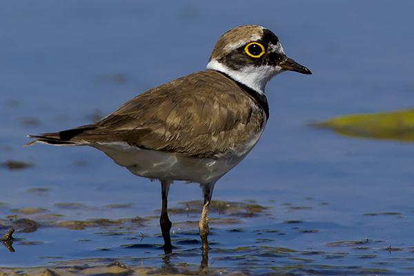 Little Ringed Plover by Bryan Thomas©