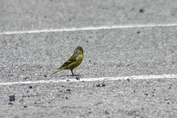Citril Finch  by Mary Brazier©