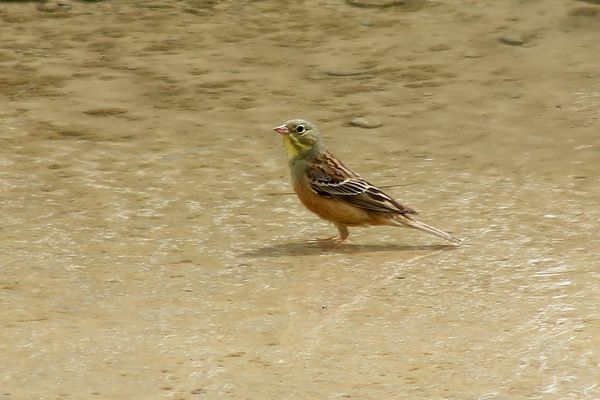 Ortolan Bunting by Mary Brazier©
