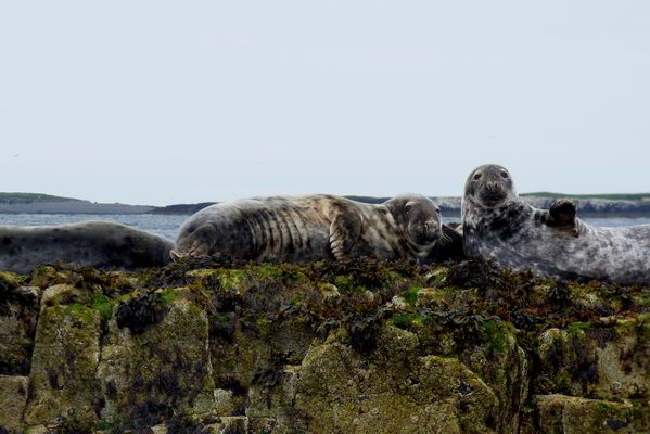 Seals at the Farne Islands by Mary Brazier©
