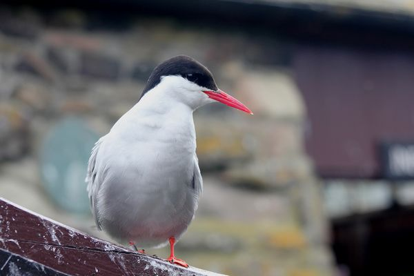 Arctic Tern by Mary Brazier©