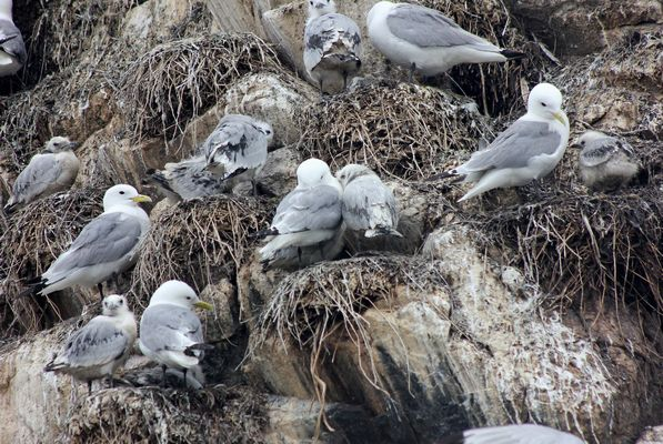 Kittiwakes by Mary Brazier©