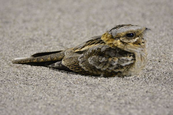 Red necked Nightjar by Stephan Cramer©