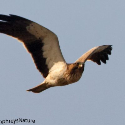 Booted Eagle by Ted Humphreys©