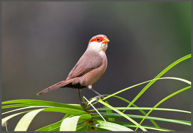 Common Waxbill supplied by Malcolm Palmer