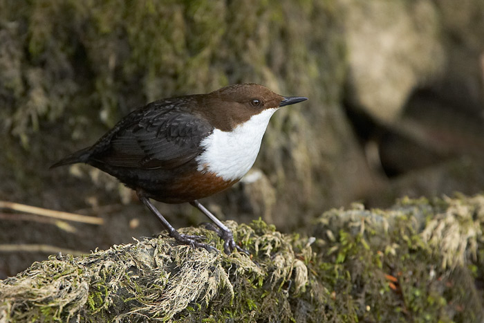 Dipper  - photo provided by Malcolm Palmer