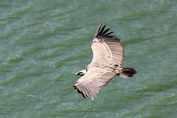 Griffon Vulture by Mary Brazier©