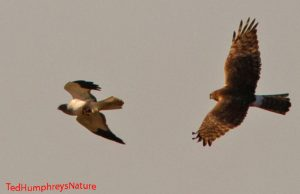 Hen Harriers (Male and Female) by Ted Humphreys©