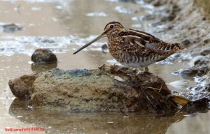 Common Snipe by Ted Humphreys©