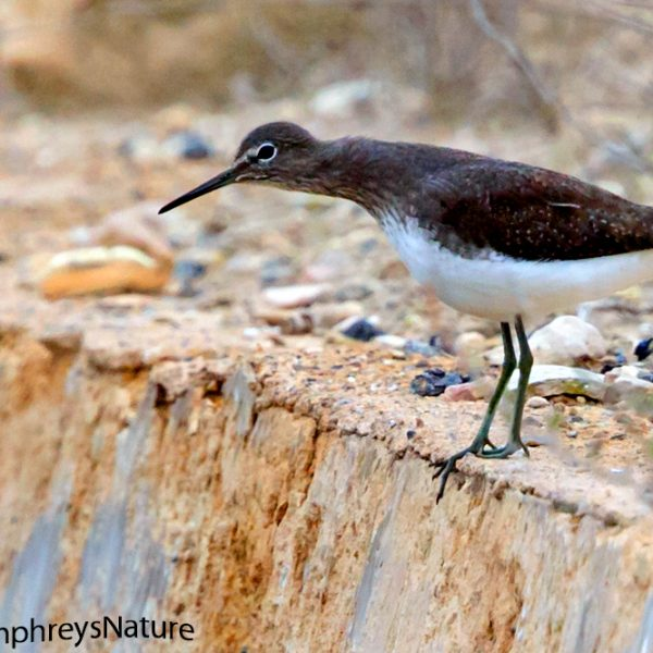 Green Sandpiper by Edward Humphreys©