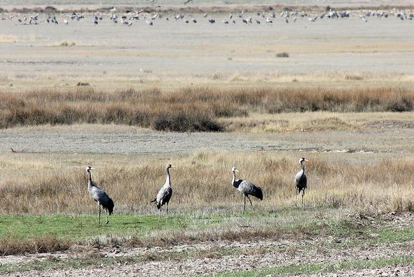 Common Cranes by Mary Brazier©