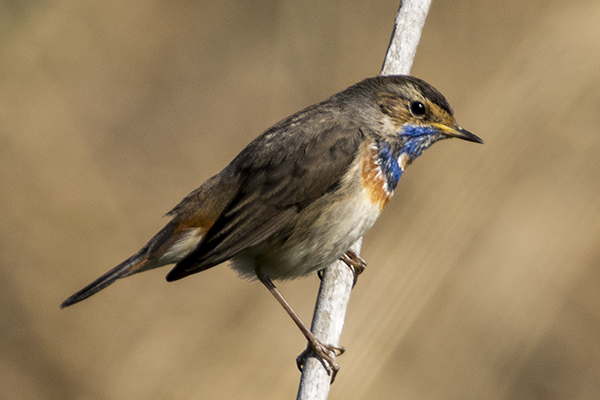 Bluethroat by Bryan Thomas©