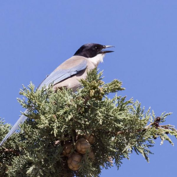 Azure winged Magpie by Paul Coombes©