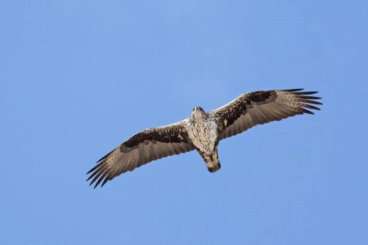 Bonelli's Eagle by Paul Coombes©