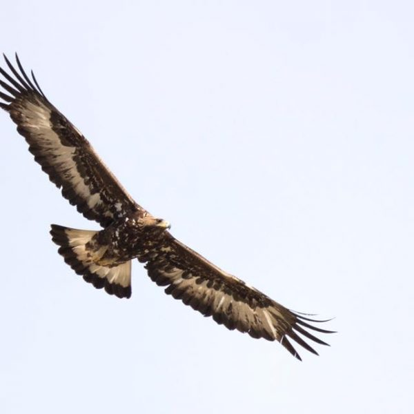 Golden Eagle by Paul Coombes©