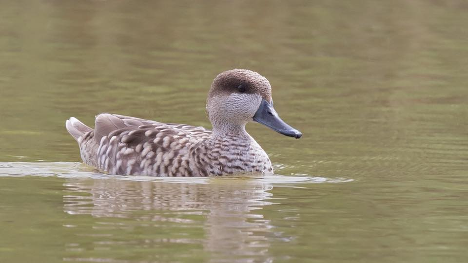 Marbled Duck by Paul Coombes©