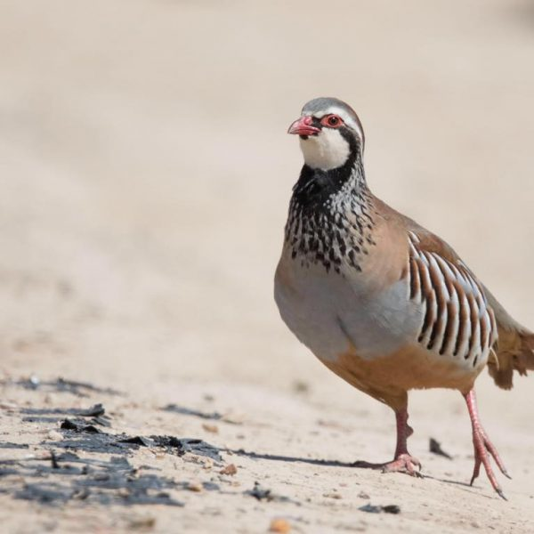 Red legged Partridge by Paul Coombes©