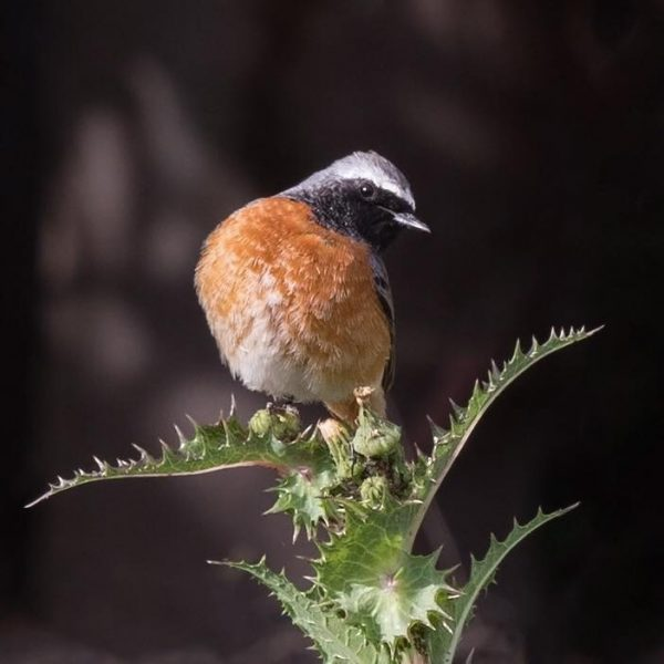Redstart by Paul Coombes©