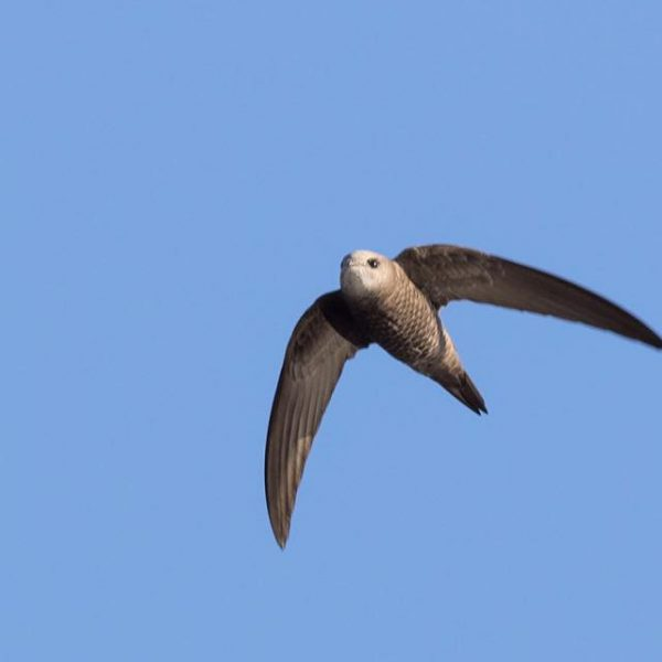 Pallid Swift by Paul Coombes©